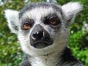 lemurro