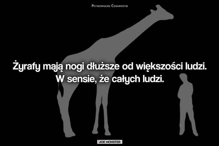 Żyrafy mają nogi dłuższe od większości ludzi. W sensie, że całych ludzi.