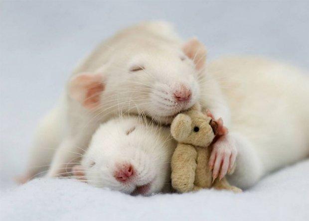 10 Powodów Dla Których Warto Lubić Szczury Joe Monster