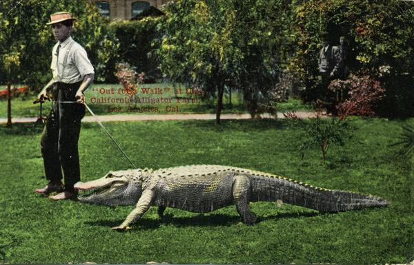 Ca Alligators2C Walking