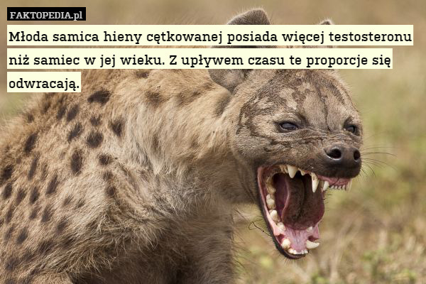 penis samic hieny)