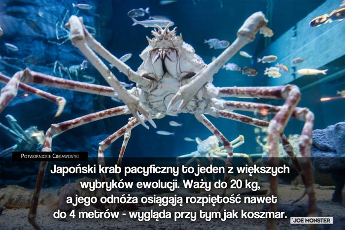 Japoński krab pacyficzny to jeden z większych wybryków ewolucji. Waży do 20 kg a jego odnóża osiągają rozpiętość nawet do 4 metrów - wygląda przy tym jak koszmar.
