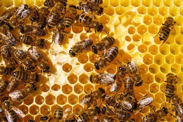 pszczoly_fotolia_600.jpeg
