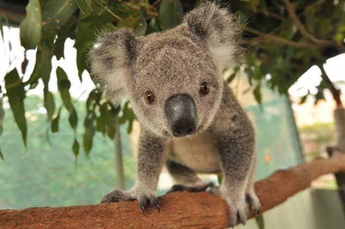 Ciekawostki na temat australijskiego torbacza koala na Joe Monster