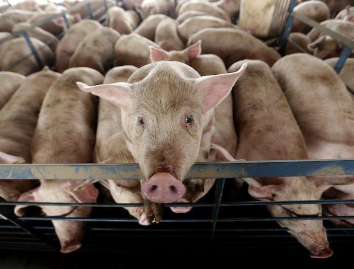 7 niespodziewanych rzeczy, które warto wiedzieć o świniach na joemonster.org