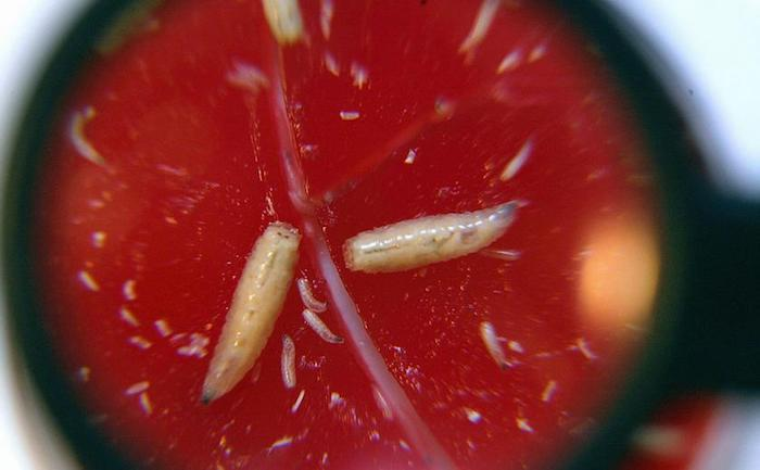 7 umiarkowanie smakowitych faktów o robakach i larwach (czerwiach)