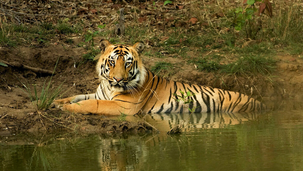 India-Has-Killed-384-Tigers-in-Past-10-Years.jpg