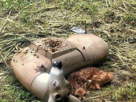 Osierocony jelonek pomylił kukłę jelenia do strzelania ze swoją mamą
