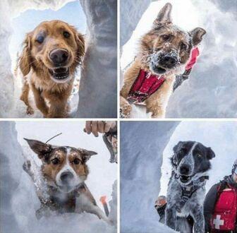 Pyski szczęśliwych psów lawinowych, które podczas ćwiczeń odnajdują poszukiwanego