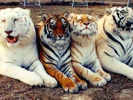 Tygrysy we wszystkich kolorach