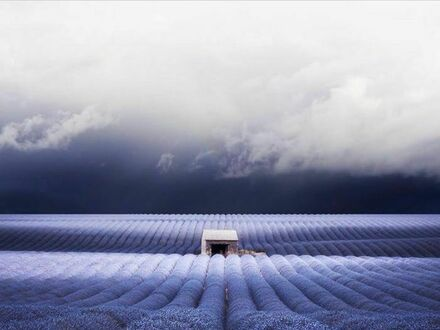 Pole lawendy w Provence, Francja