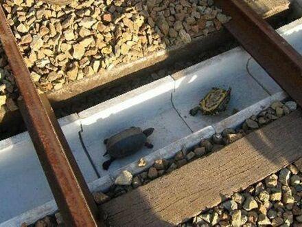 W Japonii pracownicy kolei zbudowali specjalne tunele dla żółwi, aby nie ginęły pod kołami pociągów