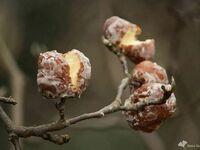 Idzie wiosna, pojawiły się już pierwsze pączki