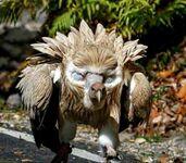 Sęp himalajski pokazujący swoje udawane oczy