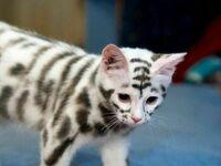 Domowy tygrysek
