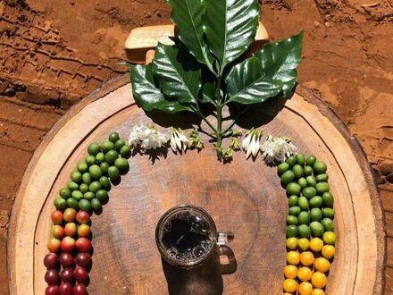 Cykl życia kawy