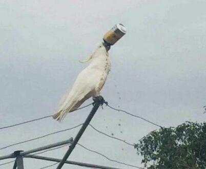 Typowa piracka papużka