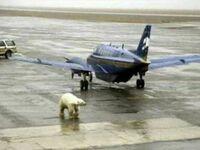Alaska to miejsce, gdzie opuszczenie samolotu jest opóźnione, bo na drodze do terminala jest niedźwiedź polarny