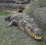 Słodziutki krokodyl różańcowy