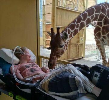 """Żyrafa witająca się z nieuleczalnie chorym pacjentem podczas """"ostatniego życzenia"""" - w holenderskim zoo"""
