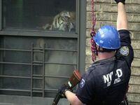 Nowojorski policjant oko w oko z Mingiem - 160-kg tygrysem trzymanym w mieszkaniu w Harlemie, rok 2003