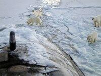Spotkanie niedźwiedzi polarnych z rosyjską łodzią podwodną