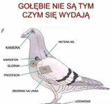 Gołębie to narzędzie światowego rządu!