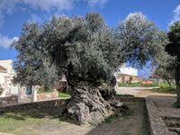 Wieńce wręczane atletom na IO w 2004 zrobiono z gałązek drzewa oliwnego mającego 2000 lat