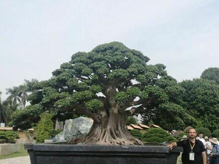 Największe drzewko Bonsai na świecie