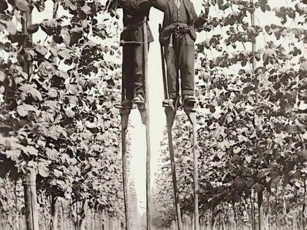 Hodowcy chmielu używający szczudeł podczas zbiorów, lata 20. XX wieku