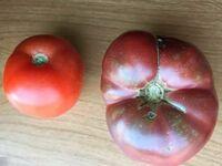 Współczesny pomidor vs pomidor wychodowany z 150-letnich nasion