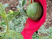 Wsparcie dla rosnących melonów