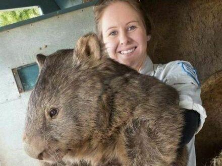 Najstarszy i największy na świecie wombat w wieku 29 lat