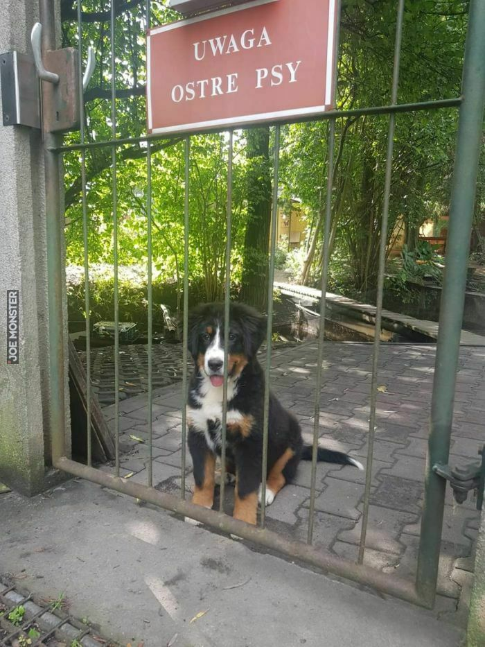 uwaga ostre psy