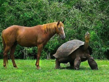 Żółw z Galapagos w porównaniu z koniem
