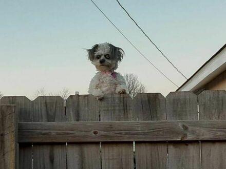 Czuję się nieswojo, kiedy obserwuje mnie pies sąsiada