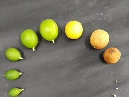 Cykl życiowy cytryny