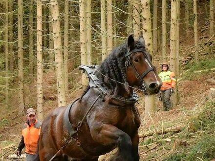Prawdziwy koń roboczy