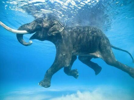 Słoń całkiem sprawnie pływa