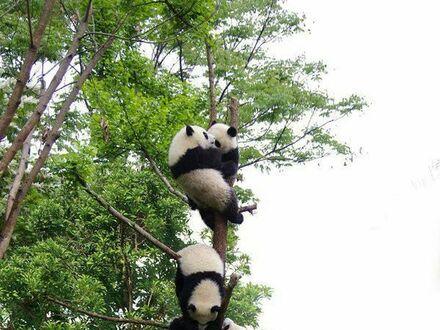 Drzewo pandowe