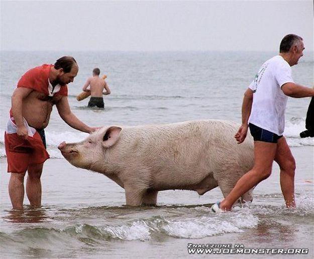 penis świnia morskiego