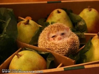 Jeże naprawdę nie chodzą z jabłkami na grzbiecie
