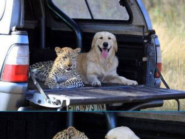 Jak duży pies z dużym kotem