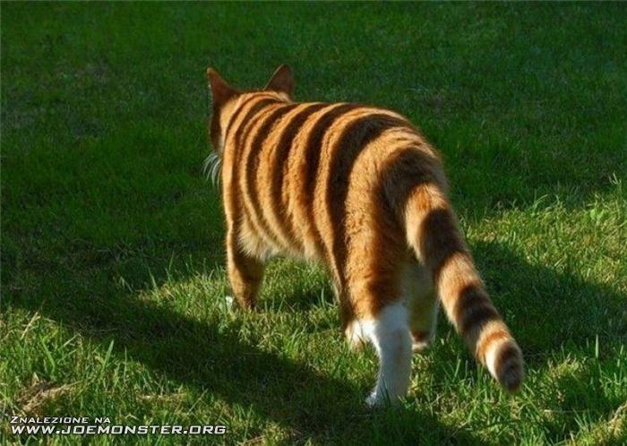 Domowy Tygrys Joe Monster