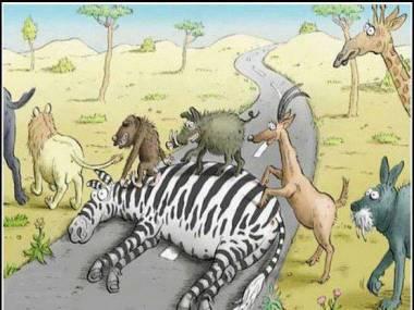 Zebra na drodze