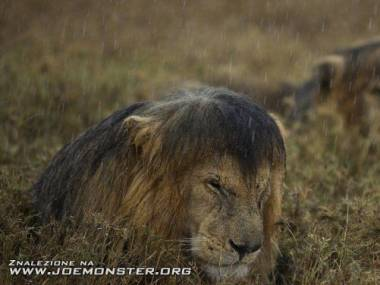 Mokry lew to zły lew