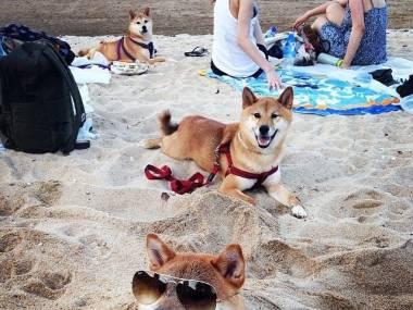 Shiba inu na plaży