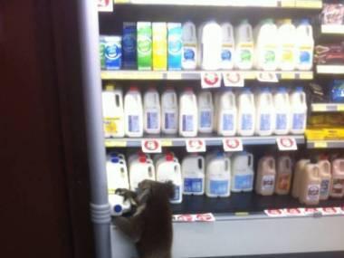 Mały złodziej mleka