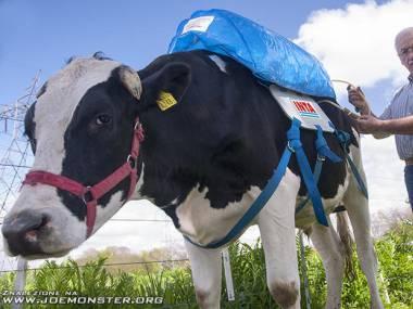 Plecaki dla krów, które pochłaniają metan z ich pierdów