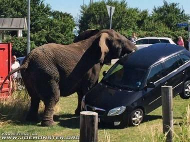 Źle zaparkował i słoń dał mu nauczkę